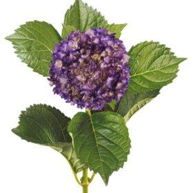Painted Mini Green Hydrangea, Metallic Purple (Choose 20 or 40 Stems)