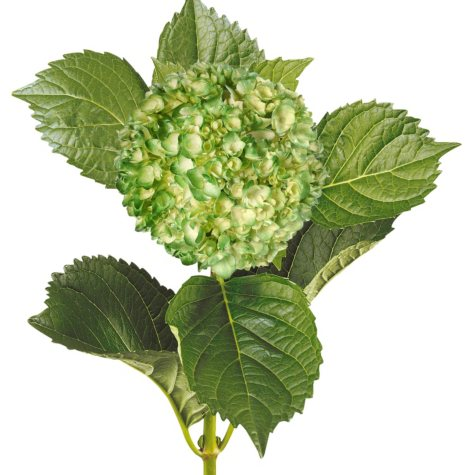 Painted Mini Green Hydrangea, Metallic Green (Choose 20 or 30 Stems)