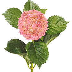Painted Mini Green Hydrangea, Metallic Pink with Glitter (Choose 20 or 40 Stems)