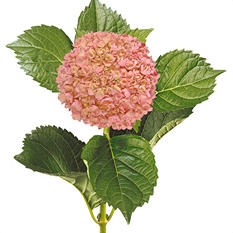 Painted Mini Green Hydrangea, Pink (Choose 20 or 40 Stems)