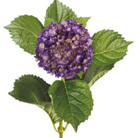 Painted Mini Green Hydrangea, Metallic Purple (20 Stems)