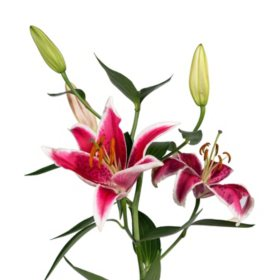 Oriental Lily, Starfighter (Choose stem count)