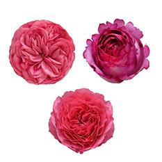 Garden Roses, Hot Pink (36 stems)