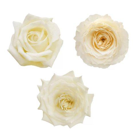 Garden Roses, White (36 stems)