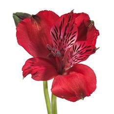 Alstroemeria, Red (Choose 50 or 90 stems)