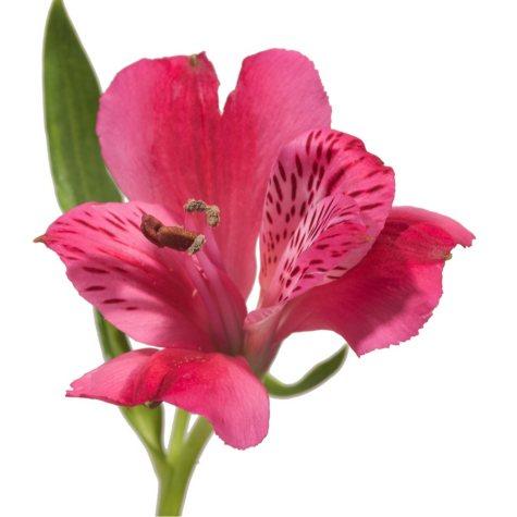 Alstroemeria, Hot Pink (Choose 50 or 90 stems)