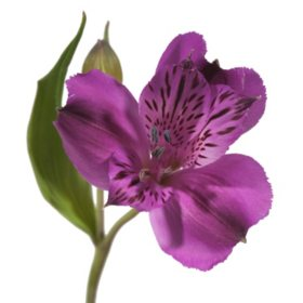Alstroemeria, Purple (50 or 90 stems)