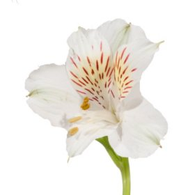 Alstroemeria, White (Choose 50 or 90 stems)
