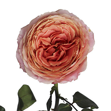 Garden Roses, Romantic Antique (36 stems)