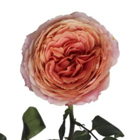 Garden Roses, Romantic Antique (36 stems)