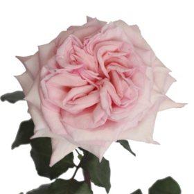 Garden Roses, Pink O'Hara (36 stems)