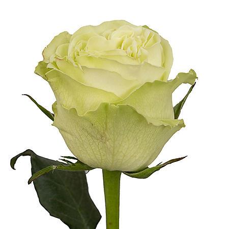 Roses, Green (50 stems)