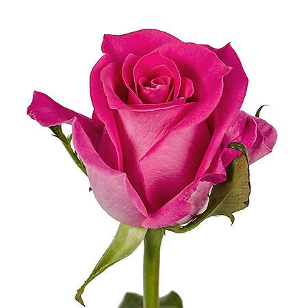 Roses, Hot Pink (choose 50 or 125 stems)