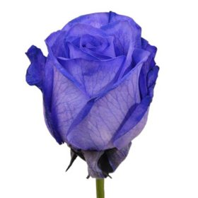 Roses, Tinted Purple (choose 50, 75 or 100 stems)