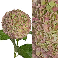 Jumbo Hydrangea and Petals Combo, Antique Green (8 stems and 6 packs)