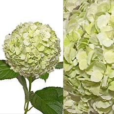 Hydrangeas/Petals Combo - Kiwi