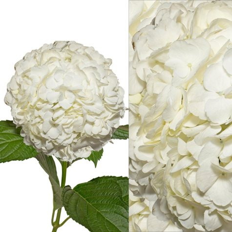 Jumbo Hydrangea and Petals Combo, White (8 stems and 6 packs)