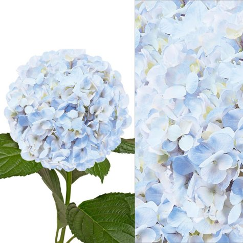 Hydrangeas and Petals Combo - Blue