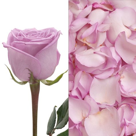 Roses and Petals Combo, Lavender (75 stems and 2,000 petals)