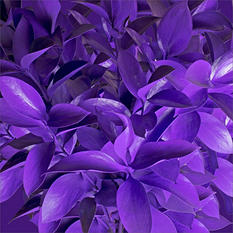 Ruscus - Painted Pastel Violet - 120 Stems
