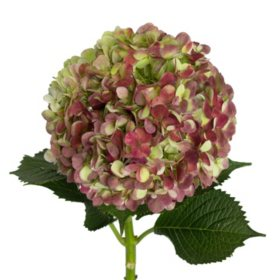 Jumbo Hydrangea, Antique Red (12 stems)