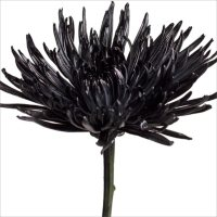 Spider Mums - Painted Black - 100 Stems