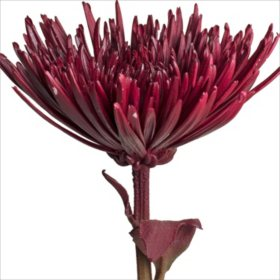Spider Mums - Painted Burgundy - 100 Stems