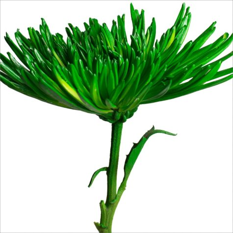 Spider Mums - Painted Lime Green - 100 Stems