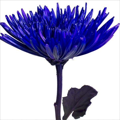 Spider Mums - Painted Purple - 100 Stems