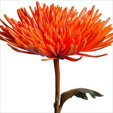 Spider Mums - Painted Orange - 100 Stems