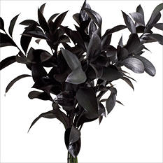 Ruscus - Painted Black - 120 Stems