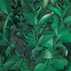 Ruscus - Painted Kelly Green - 120 Stems