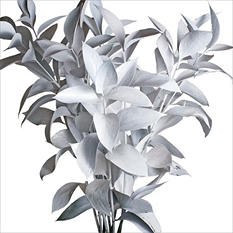 Ruscus - Painted White - 120 Stems