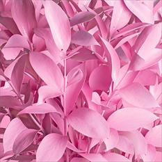Ruscus - Painted Pink - 120 Stems