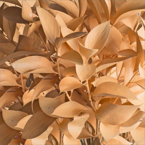 Ruscus - Painted Pastel Orange - 120 Stems
