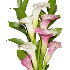 Mini Calla Cascade Bouquet - Pink and White - 100 Stems