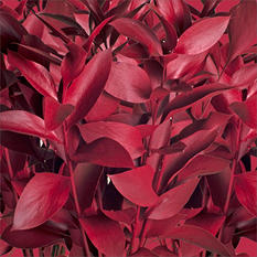 Ruscus - Painted  Red - 120 Stems