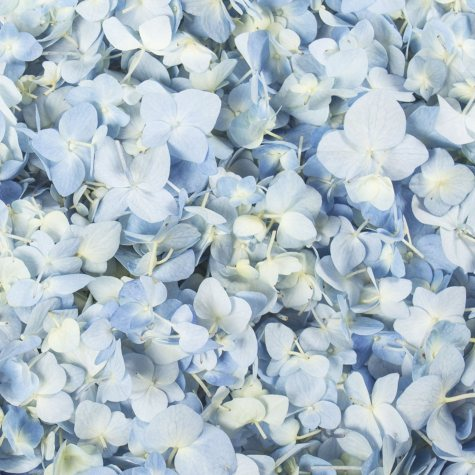 Hydrangea Petals, Blue (choose 16 or 26 packs)