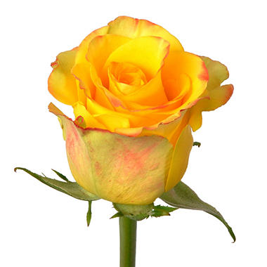 90 cm Stem Roses - High and Yellow - 100 Stems