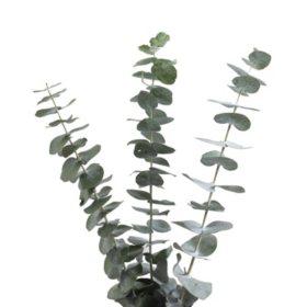 Baby Blue Eucalyptus (200 Stems)