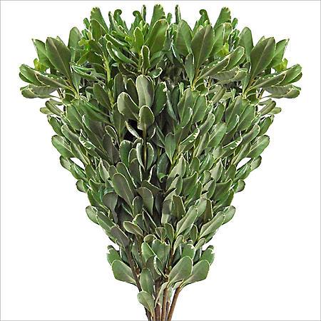 Variegated Pittosporum - 150 Stems