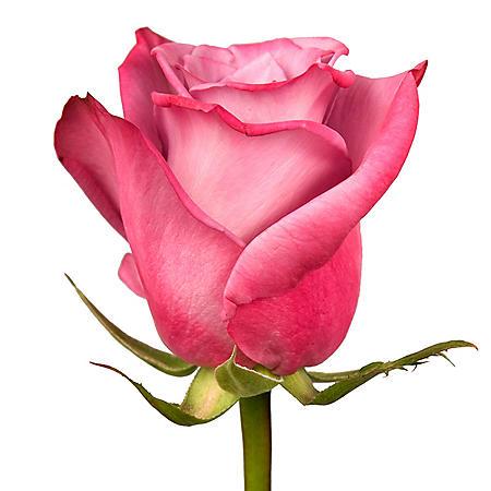Roses, Moody Blue (choose 50 or 100 stems)