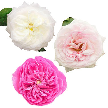 Garden Roses, Pink and White (36 stems)