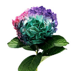 Painted Tritone Hydrangea - Turquoise, Hot Pink and Lavender (choose 14 or 26 stems)