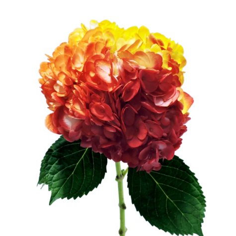 Painted Tritone Hydrangea - Yellow, Orange and Red (choose 14 or 26 stems)