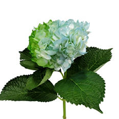 Painted Duotone Hydrangeas, Blue and Green (Choose stem count)