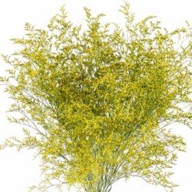 Limonium, Tinted Yellow (15 bunches)