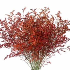 Limonium, Tinted Orange (15 bunches)