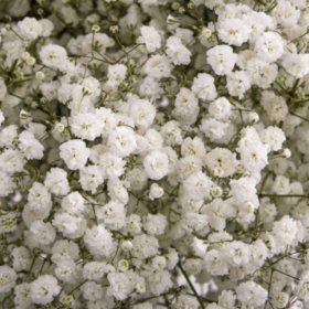 Gypsophilia ' Baby's Breath', Mirabella (choose 5 or 10 bunches)