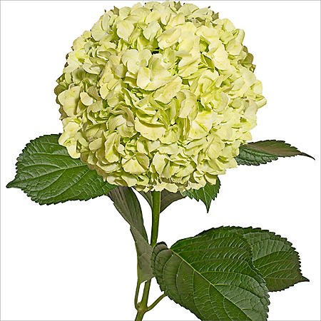 Hydrangea, Natural Lime Green (30 stems)
